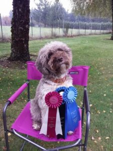 Lagotto sitting in chair with ribbons she won