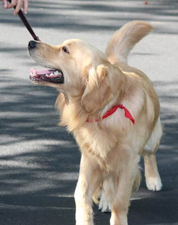 Golden being trained